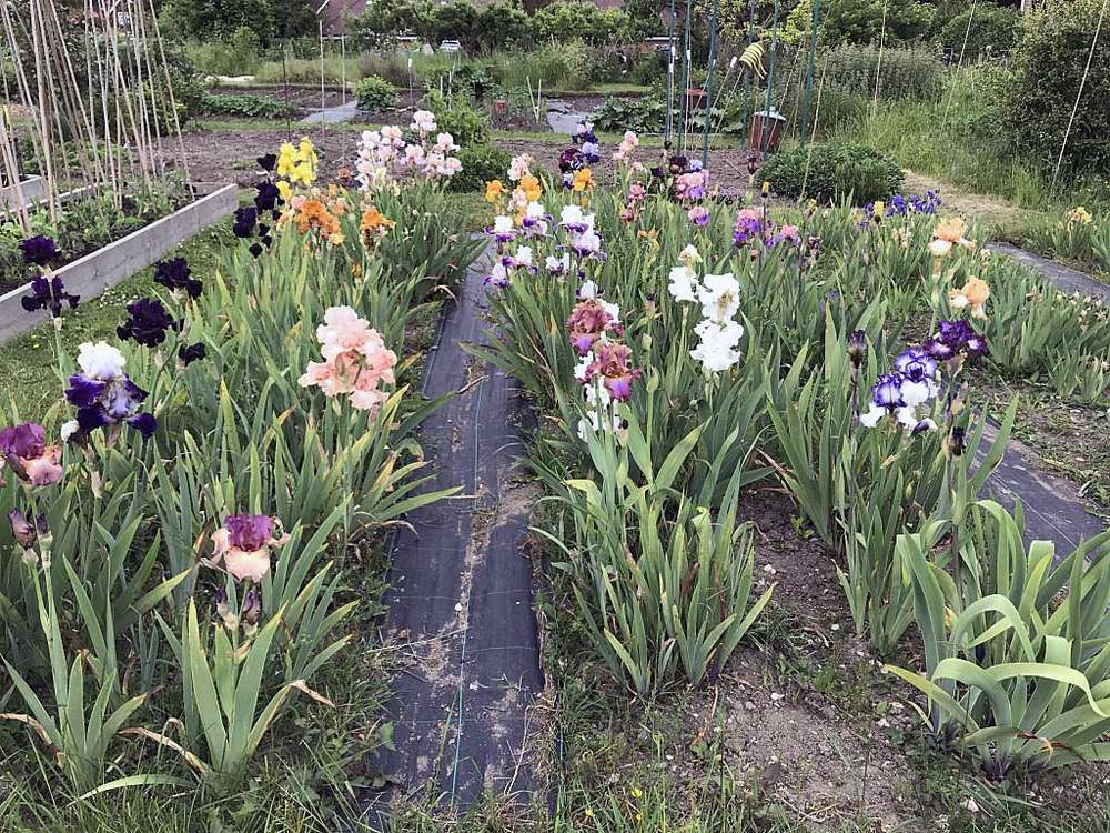 An allotment with no vegetables just gorgeous Iris flowers