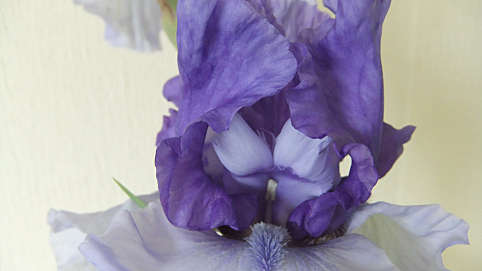 The Garden Group are bowled over by the beauty of Irises